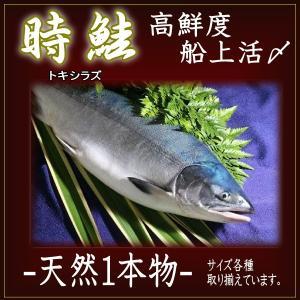 北海道 鮭(サケ)トキシラズ 生 姿 高鮮度 船上活〆1.8キロ前後 atumaru-suisan