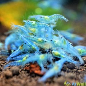 青系シュリンプは総じてランシーロン(藍糸龍)と呼ばれる事がありますが、その中でも当店のブルーベルベッ...