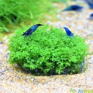 【無農薬】プレミアムグリーンモス丸石付き 直径約5cm