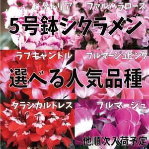 送料無料 シクラメン 5号鉢 選べる人気品種 クラシカルドレス プルマージュ ビクトリア|avonlea