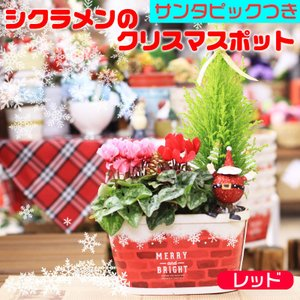 送料無料 クリスマスポット シクラメン2ポットとコニファー サンタクロース アロマ効果|avonlea