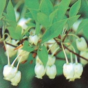 ドウダンツツジ 白花 ayahadio