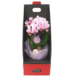 ミディ胡蝶蘭 ピンク色胡蝶蘭 2本立ち 2ウエイテーブルボックス付き(こちょうらん)/誕生祝い 花 産地直送 フラワーギフト 洋ラン 胡蝶蘭 お祝い 鉢植え|ayuwara