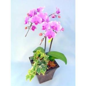 ミディ胡蝶蘭 キャンディ 2本立ち アイビー寄せ合わせ ウッディー調鉢(こちょうらん)/誕生祝い 花 産地直送 フラワーギフト 洋ラン お祝い 鉢植え|ayuwara