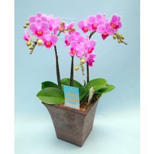 ミディ胡蝶蘭 シーナズリンゴ 3本立ち ウッディー調鉢(こちょうらん)/誕生祝い 花 フラワーギフト 洋ラン 胡蝶蘭|ayuwara