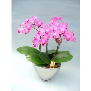 ミディ胡蝶蘭 チュンリー 3本立ち シルバー鉢(こちょうらん)/誕生祝い 花 産地直送 フラワーギフト 洋ラン 胡蝶蘭 開店祝い 開業祝い お祝い 鉢植え|ayuwara