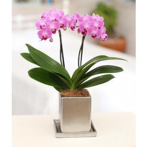 ミディ胡蝶蘭 チュンリー 2本立ち シルバー鉢(こちょうらん)/誕生祝い 花 産地直送 フラワーギフト 洋ラン 胡蝶蘭 開店祝い 開業祝い お祝い 鉢植え|ayuwara