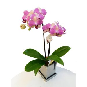 ミディ胡蝶蘭 アンスラパレルモ 2本立ち クローム鉢(こちょうらん)/誕生祝い 花 産地直送 フラワーギフト 洋ラン 胡蝶蘭 開店祝い 開業祝い お祝い 鉢植え|ayuwara