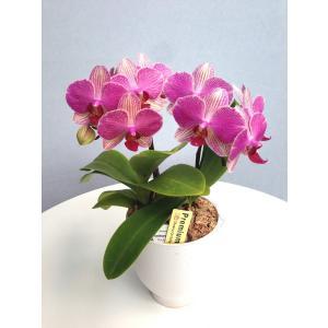 ミディ胡蝶蘭 アンスラパレルモ 2本立ち 白陶器鉢(こちょうらん)/誕生祝い 花 産地直送 フラワーギフト 洋ラン 胡蝶蘭 開店祝い 開業祝い お祝い 鉢植え|ayuwara