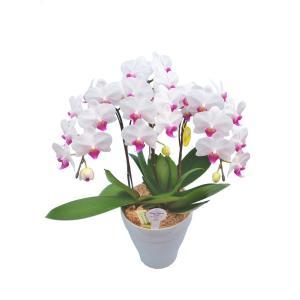 ミディ胡蝶蘭 ユミ 3本立ち (こちょうらん)/誕生祝い 花 産地直送 フラワーギフト 洋ラン 胡蝶蘭 開店祝い 開業祝い お祝い 鉢植え|ayuwara