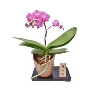 ミディ胡蝶蘭 チュンリー 1本立ち 信楽焼(こちょうらん)/誕生祝い 花 産地直送 フラワーギフト 洋ラン 胡蝶蘭 開店祝い 開業祝い お祝い 鉢植え|ayuwara