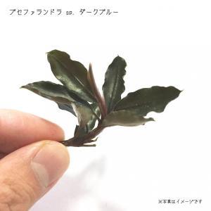 ブセファランドラ sp. ダークブルー 1株