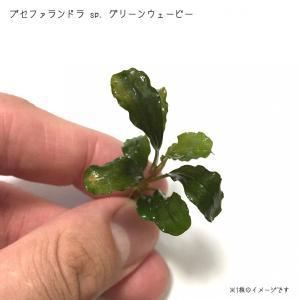 ブセファランドラ sp. グリーンウェービー 1株 国産 無農薬