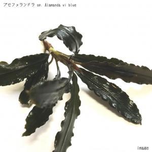 ブセファランドラ sp. Almanda(アラマンダ) vi blue 1株 無農薬