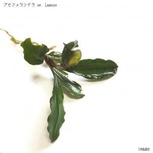 ブセファランドラ sp. Lagoon(ラグーン) 1株 無農薬