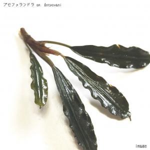ブセファランドラ sp. Antyovani 1株 無農薬