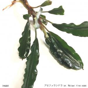 ブセファランドラ sp. Melawi fine edge(メラウィファインエッジ) 1株 無農薬
