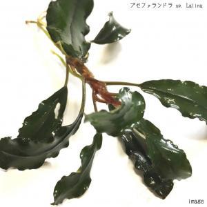 ブセファランドラ sp. Lalina(ラリーナ) 1株 無農薬