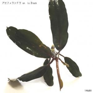 ブセファランドラ sp. Io black 1株 無農薬