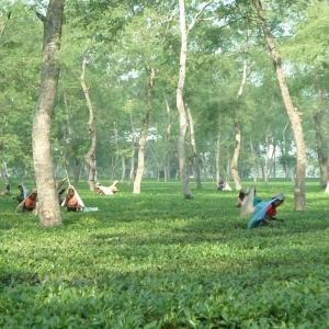 ( ノンカフェイン ) 生姜紅茶 (しょうが紅茶) 40 ティーバッグ入  無添加 無糖 無香料|bandokochaen|02