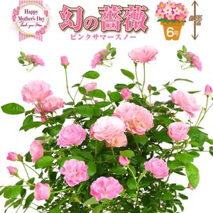 花の生産額全国第一位の愛知県東三河は温暖で穏やかな気候のため、株が丈夫に育ち高品質な薔薇が栽培しやす...