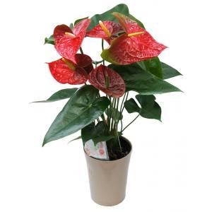 紅うちわ株(直径17cm鉢サイズ)|beniuchiwa