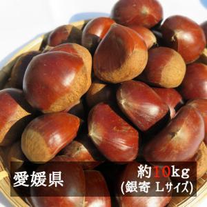 銀寄(中山栗) Lサイズ約10kg入り 愛媛県産 bimi-shunka