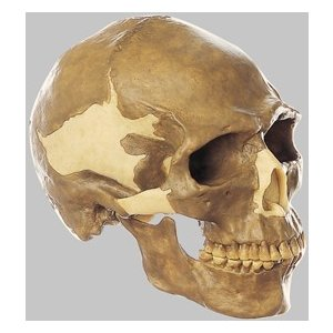 ソムソ社 新人頭蓋骨復元模型ホモ・サピエンス・サピエンス) s4 鍼灸  模型