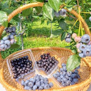 ブルーベリー食べくらべセット 400g(100g×4) 完熟・大粒 栽培期間中農薬不使用 レイクスファーム産(滋賀県) biwacoi