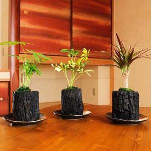 炭花壇 観葉植物 3種セット【大】 ※陶器皿付き  送料無料 biz-hana