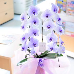 産直 胡蝶蘭2本立(紫)【全国送料無料】  biz-hana