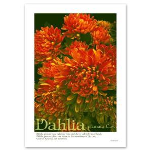 ポスター A3サイズ 『Dahlia』 インテリア フォト 花 おしゃれポスター Interior Art Poster|blankwall