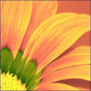 ポスター A3サイズ 『Gazania』 インテリア/フォト/花,植物 おしゃれポスター/Interior Art Poster|blankwall|02