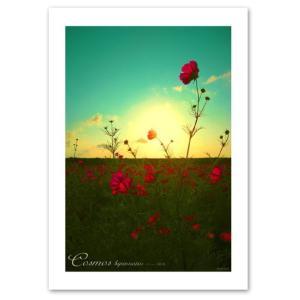 ポスター 『Opacare』 A3サイズ 297mm×420mm インテリア フォト 花,植物 おしゃれ 夕日に映えるコスモス|blankwall