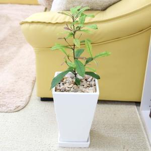観葉植物 珍しい ミラクルフルーツ ホワイトプラスチック鉢+鉢皿