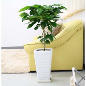 観葉植物 コーヒーの木 7号 スクエアホワイト陶器鉢 Gタイプ