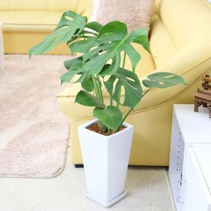 観葉植物 モンステラ 7号 スクエア陶器鉢 ストレート|bloom-s