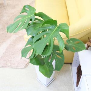 観葉植物 モンステラ 7号 スクエア陶器鉢 ストレート|bloom-s|02