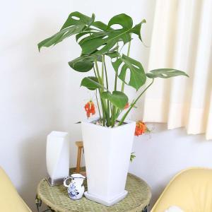 観葉植物 モンステラ 7号 スクエア陶器鉢 ストレート|bloom-s|03
