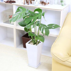 観葉植物 モンステラ 7号 スクエア陶器鉢 ストレート|bloom-s|04