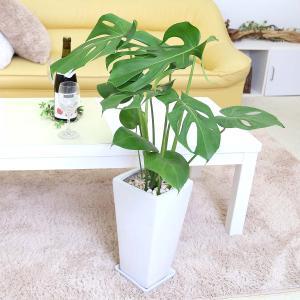 観葉植物 モンステラ 7号 スクエア陶器鉢 ストレート|bloom-s|05