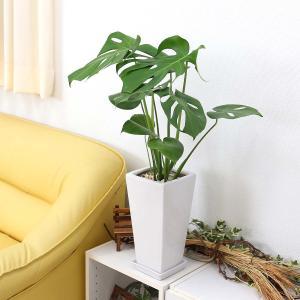 観葉植物 モンステラ 7号 スクエア陶器鉢 ストレート|bloom-s|06