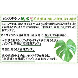 観葉植物 モンステラ 7号 スクエア陶器鉢 ストレート|bloom-s|07