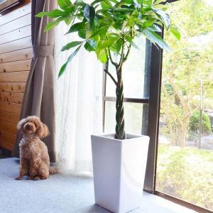 観葉植物 パキラ 8号+選べる陶器鉢 ストレート