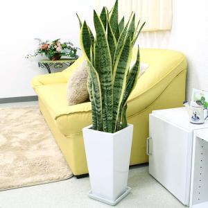 観葉植物 空気を浄化するといわれているサンスベリアのホワイト陶器鉢 7号 ストレート|bloom-s