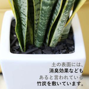 観葉植物 空気を浄化するといわれているサンスベリアのホワイト陶器鉢 7号 ストレート|bloom-s|02