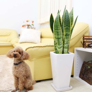 観葉植物 空気を浄化するといわれているサンスベリアのホワイト陶器鉢 7号 ストレート|bloom-s|12