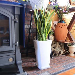 観葉植物 空気を浄化するといわれているサンスベリアのホワイト陶器鉢 7号 ストレート|bloom-s|13
