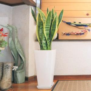 観葉植物 空気を浄化するといわれているサンスベリアのホワイト陶器鉢 7号 ストレート|bloom-s|14