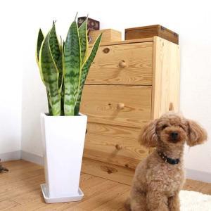 観葉植物 空気を浄化するといわれているサンスベリアのホワイト陶器鉢 7号 ストレート|bloom-s|15